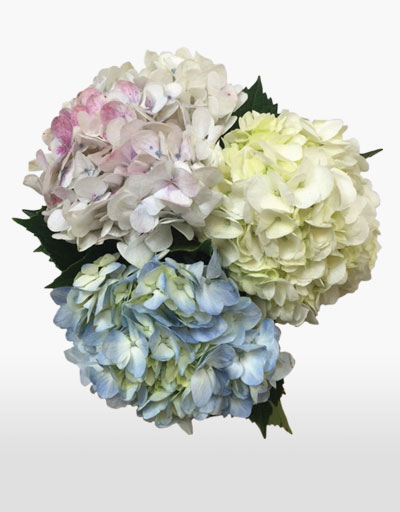 shop floral weekly specials cut hydrangea. Black Bedroom Furniture Sets. Home Design Ideas