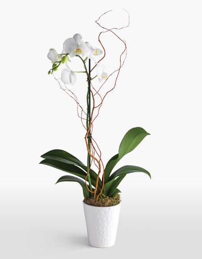 shop floral weekly specials phalaeneopsis orchid. Black Bedroom Furniture Sets. Home Design Ideas