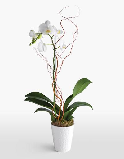 shop floral weekly specials phalaeneopsis orchid. Black Bedroom Furniture Sets. Home Design Ideas